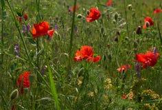 Amapolas rojas en un campo con las flores salvajes Imagenes de archivo
