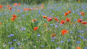 Amapolas rojas en un campo de la amapola con la hierba verde en el prado metrajes
