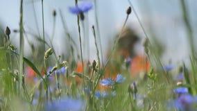 Amapolas rojas en un campo de la amapola con la hierba verde en el prado almacen de video