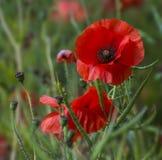Amapolas rojas en un campo de maduración del Canola Fotografía de archivo libre de regalías