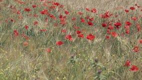 Amapolas rojas en un campo de trigo en Provence almacen de video