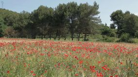 Amapolas rojas en un campo de trigo en Provence metrajes