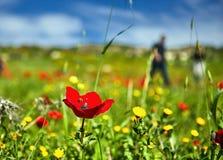 Amapolas rojas en un campo verde fotos de archivo