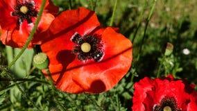 Amapolas rojas en un día de verano soleado Fotos de archivo libres de regalías