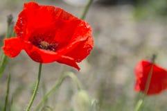 Amapolas rojas en un fondo de la hierba verde Fotografía de archivo