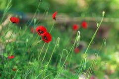 Amapolas rojas en un fondo de la hierba verde Fotografía de archivo libre de regalías