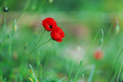 Amapolas rojas en un fondo de la hierba verde Fotos de archivo libres de regalías