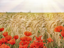 Amapolas rojas en un fondo de los oídos del trigo en salida del sol Foto de archivo