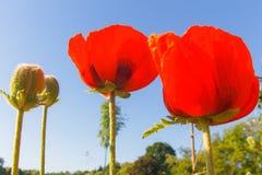 Amapolas rojas en un fondo del cielo azul Foto de archivo libre de regalías