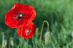 Amapolas rojas en un prado Imagen de archivo libre de regalías