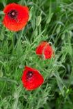 Amapolas rojas en un prado Imagenes de archivo