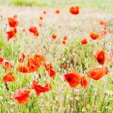 Amapolas rojas en un prado verde Imagenes de archivo