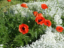 Amapolas rojas entre las flores blancas Imagen de archivo