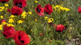 Amapolas rojas entre wildflowers e hierbas metrajes