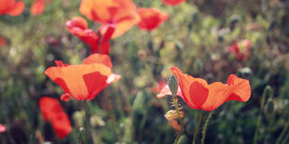 Amapolas rojas - filtro retro Flores de la amapola a lo largo de la manera de Lycian Imagenes de archivo
