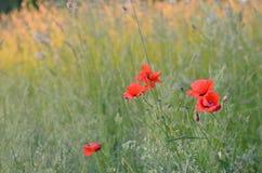 Amapolas rojas florecientes Imágenes de archivo libres de regalías