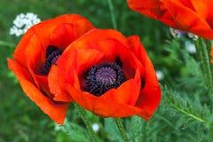 Amapolas rojas florecientes Fotos de archivo libres de regalías