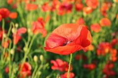Amapolas rojas florecientes en campo verde Imagenes de archivo
