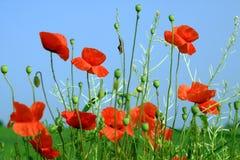 Amapolas rojas hermosas bajo un cielo azul Foto de archivo
