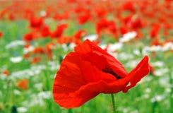 Amapolas rojas salvajes foto de archivo libre de regalías