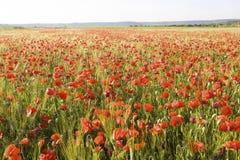 Amapolas rojas salvajes del verano en campo de trigo Foto de archivo libre de regalías