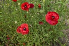 Amapolas rojas salvajes en campo verde Fotos de archivo