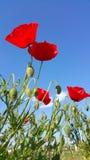 Amapolas rojas salvajes vibrantes que alcanzan hasta el cielo Imagenes de archivo