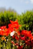 Amapolas rojas vibrantes en luz brillante del sol Imagenes de archivo