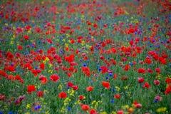 Amapolas rojas y acianos azules Imagen de archivo libre de regalías