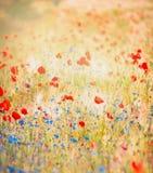 Amapolas rojas y acianos azules en un fondo del campo colorido brillante Foto de archivo
