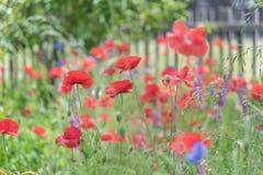 Amapolas rojas y acianos azules que florecen en jardín con la valla de estacas blanca en fondo imagen de archivo libre de regalías