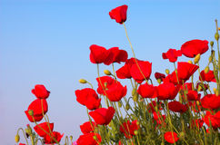Amapolas rojas y cielo azul Imagen de archivo libre de regalías