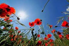 Amapolas rojas y el cielo azul Fotos de archivo libres de regalías