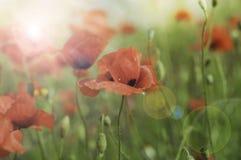 Amapolas salvajes en la floración Foto de archivo