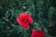Amapolas salvajes en prado Imagen de archivo libre de regalías