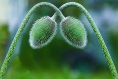 Amapolas verdes dobladas el uno al otro Imagenes de archivo