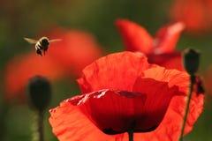 Amapolas y abeja rojas Fotos de archivo