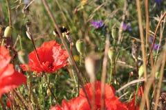 Amapolas y abejorro rojos Imagen de archivo libre de regalías