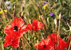 Amapolas y abejorro rojos Imágenes de archivo libres de regalías