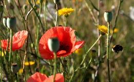 Amapolas y abejorro rojos Fotos de archivo
