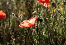 Amapolas y abejorro rojos Imagenes de archivo