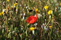 Amapolas y abejorro rojos Fotografía de archivo libre de regalías