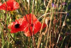 Amapolas y abejorro rojos Foto de archivo libre de regalías