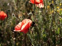 Amapolas y abejorro rojos Imagen de archivo