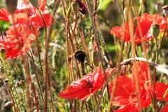Amapolas y abejorro rojos Fotografía de archivo