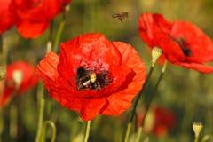 Amapolas y abejorro rojos florecientes Fotos de archivo
