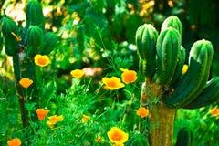 Amapolas y cactus foto de archivo