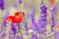 Amapolas y flores rojas de la primavera en el prado Fotografía de archivo libre de regalías