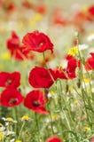 Amapolas y flores rojas de la primavera en el prado Fotos de archivo
