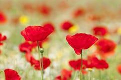 Amapolas y flores rojas de la primavera en el prado Imagenes de archivo